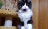 Украденный с выставки в Экспофоруме котенок мейн-куна вернулся к хозяевам