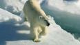 Владимир Путин защитит белых медведей на острове Врангел...