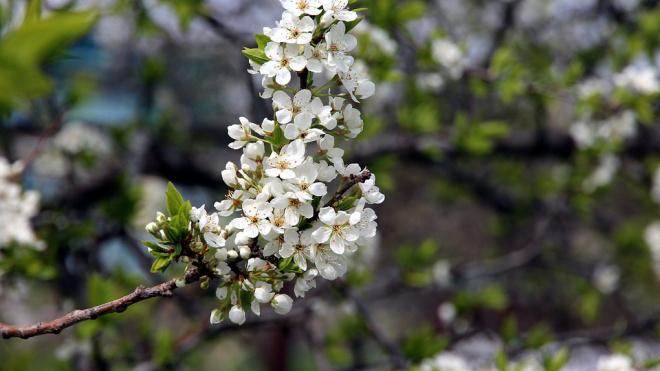 В Никольском саду высадят липу, черемуху Мааки и клен