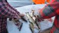 В Петербурге рыбаки получили срок за браконьерство ...