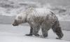На Камчатке ведется отстрел медведей-шатунов