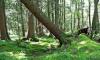 В Гатчине скончался мужчина, на которого упало дерево во время шторма