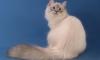 Путин обещал подарить префекту Акиты огромного кота