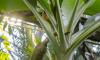 В Ботаническом саду зацвел японский текстильный банан