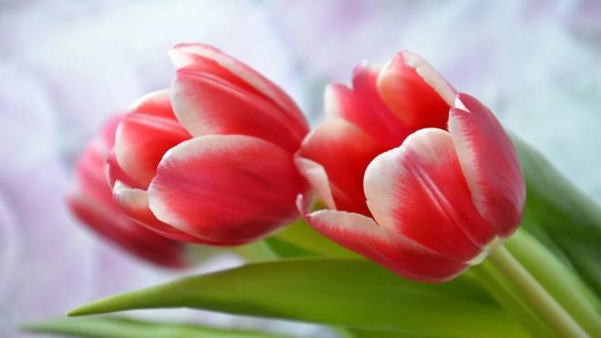 """На Красногвардейской площади """"выросли"""" тюльпаны к 8 марта"""