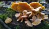Петербуржцы начали собирать грибы в лесах в январе