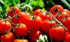 Белорусы пытались провезти в Петербург 40 тонн запрещенных турецких томатов