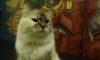 В Воронеже неизвестный зоофил до полусмерти изнасиловал кошку Мусю
