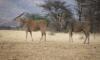 Пожилой охотник возвращается из Намибии в коме на самолете МЧС