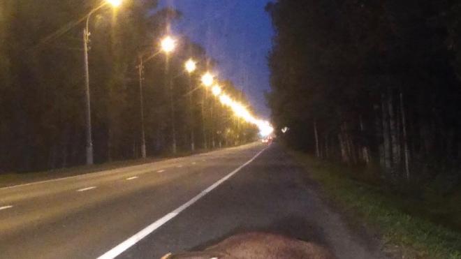 Автомобиль сбил лося на Зеленогорском шоссе и уехал