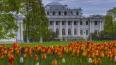В Петербурге на клумбах расцвели 400 тысяч тюльпанов