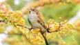 Ученые научили диких воробьев петь новую песню