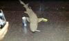 В вагоне нью-йоркского метро нашли мертвую акулу