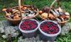 Петербуржцы похвастались в сети щедрым грибным уловом