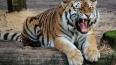В Барнауле могут убить тигра из зоопарка, который ...