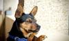 Учёные: детский голос привлекает внимание собак