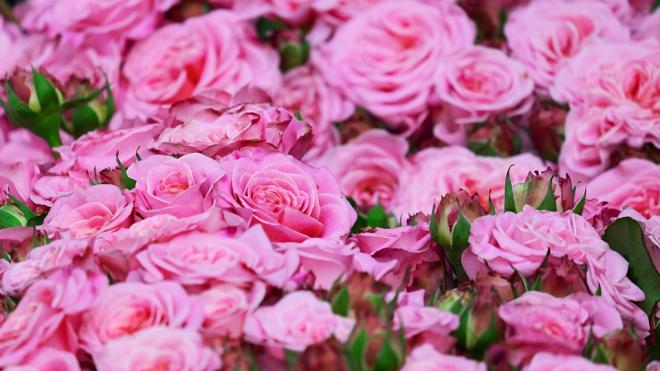 В Петербурге появится музей роз