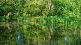На реке Карповке появится плавучий сад с ирисами, ...