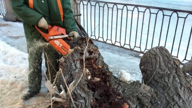 В Комитете по благоустройству объяснили вырубку столетних деревьев на Римского-Корсакова