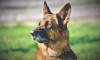 Служебный пес Волк-Меркурий выследил напавшего на пенсионерку бомжа