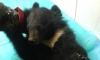 Медвежонка, над которым издевались в Туве, приютили в нацпарке в Башкирии