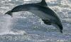 В акватории Финского залива плещутся дельфины