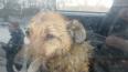 В Петербурге нашли владельцевсобаки, которую спасли ...