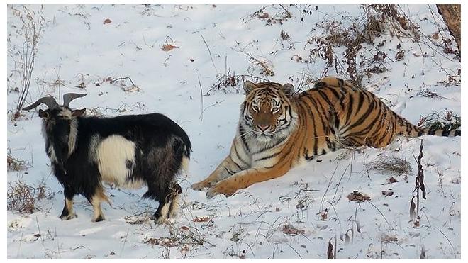 На встрече козла Тимура и тигра Амура после разлуки произошло настоящее чудо