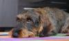В Петербурге собаки больше не будут неожиданно нападать на людей из-за законопроекта чиновников