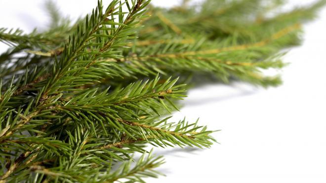 Специалисты Россельхознадзора дали советы по выбору новогоднего дерева