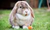 Выборгским фермерам предложили поменять свиней на кроликов