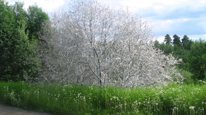 Деревья в Ленинградской области атакуют гусеницы