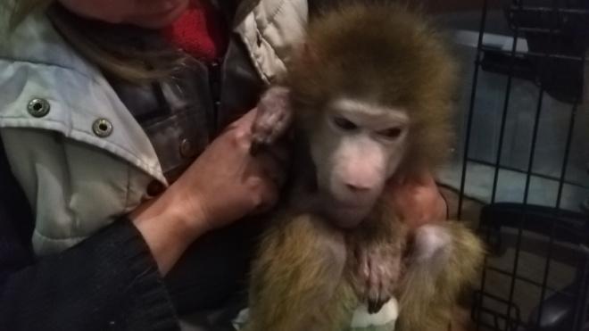 В петербургском центре помощи диким животным не смогли спасти обезьянку