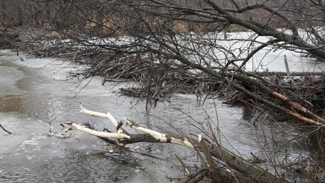 Фото: бобры построили плотину в Юнтолово