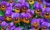 На проспекте Непокорённых ко Дню Победы высадили 75 тысяч цветов виолы