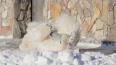 Медведица Хаарчаана из Ленинградского зоопарка радуется ...