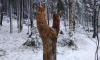 В Выборгском парке Монрепо поселились совы, сделанные руками лесничих парка