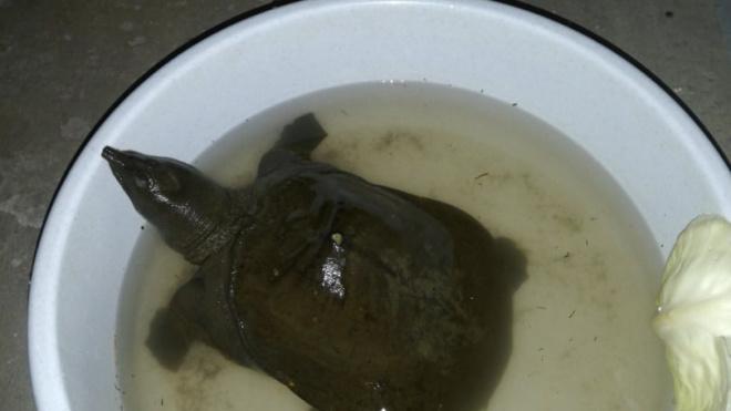 Жители Кировского района нашли домашнюю черепаху в реке