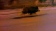 Спортивный кабанчик бегал по велодорожке на Парашютной ...