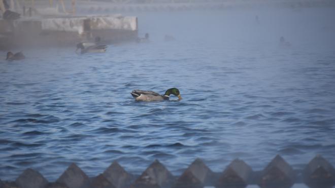 """Дикие утки облюбовали очистные сооружения """"Водоканала"""" с теплой водой"""