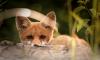 Исследователи из СПбГУ обнаружили ген, отвечающий за дружелюбие лисиц