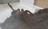 5 крупных экзотических пауков покинули Петербург и направились в Якутию