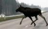В Ленобласти «Пятерка» сбила лося, водитель в тяжелом состоянии