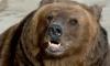 Под Вырицей медведь задрал двух человек