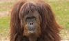 Ученые открыли новый вид человекообразных обезьян