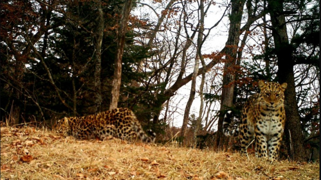 Фотоловушка сняла котят редкого дальневосточного леопарда
