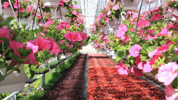 В оранжереях Московского и Приморского парков Победы готовятся открыть цветочный сезон