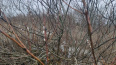 Петербуржцы снова заметили распустившиеся вербы
