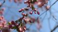Сакура в Петербурге: где можно полюбоваться нежно-розовыми ...