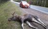 На трассе Скандинавия петербуржцы заметили умершего у обочины лося